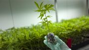 Wer künftig Cannabis in der Apotheke bekommt