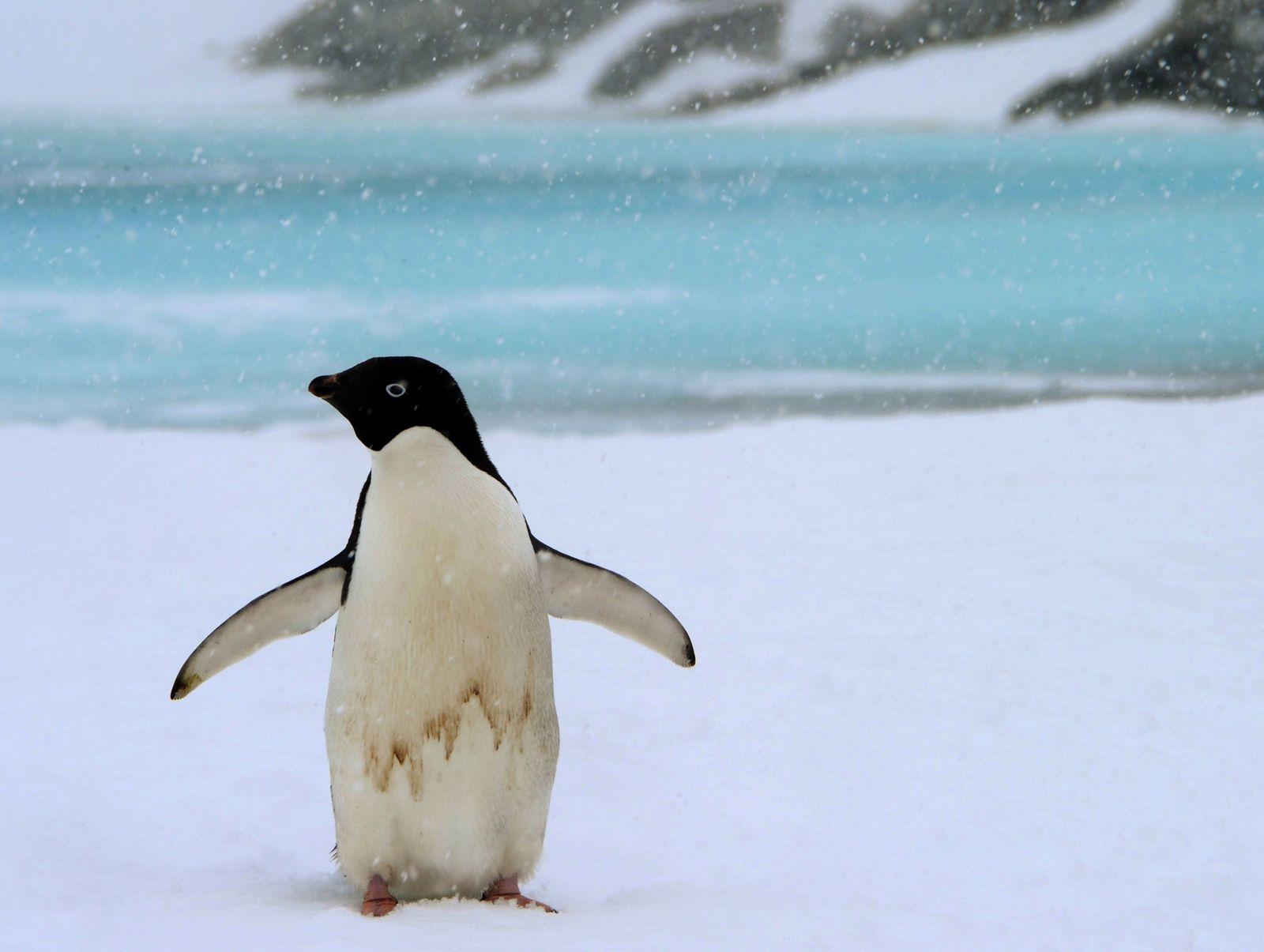 Adelie Pinguin Dpa