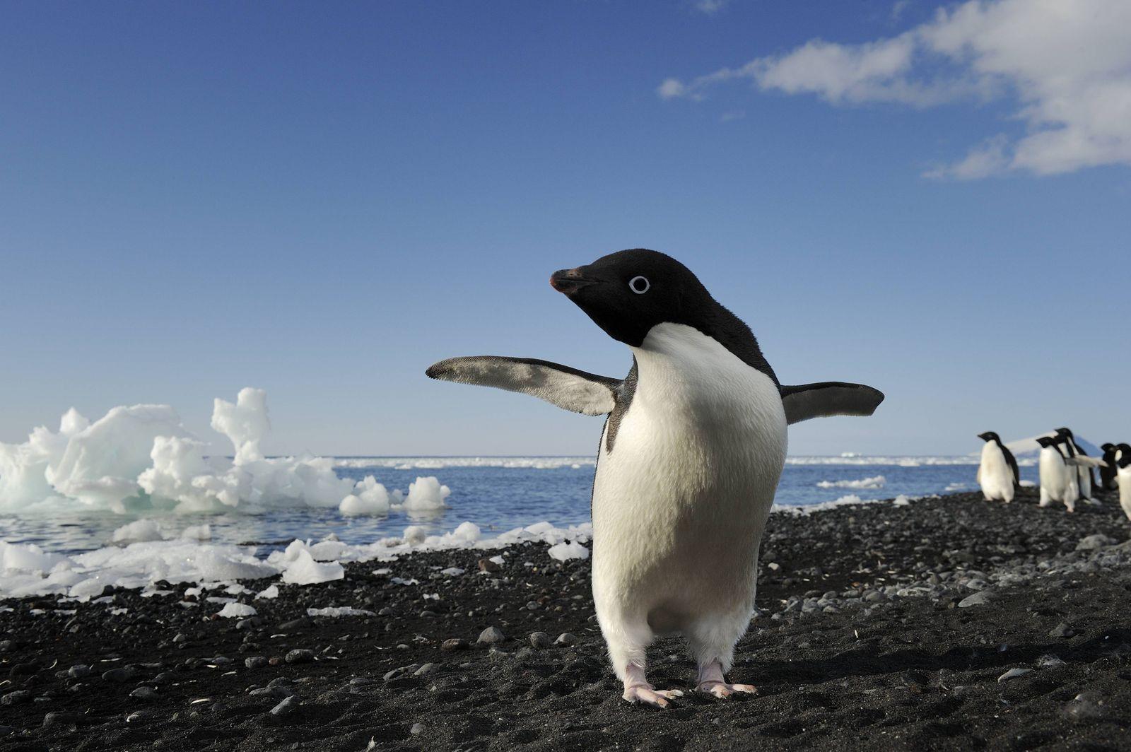 Adélie-Pinguine in der Antarktis
