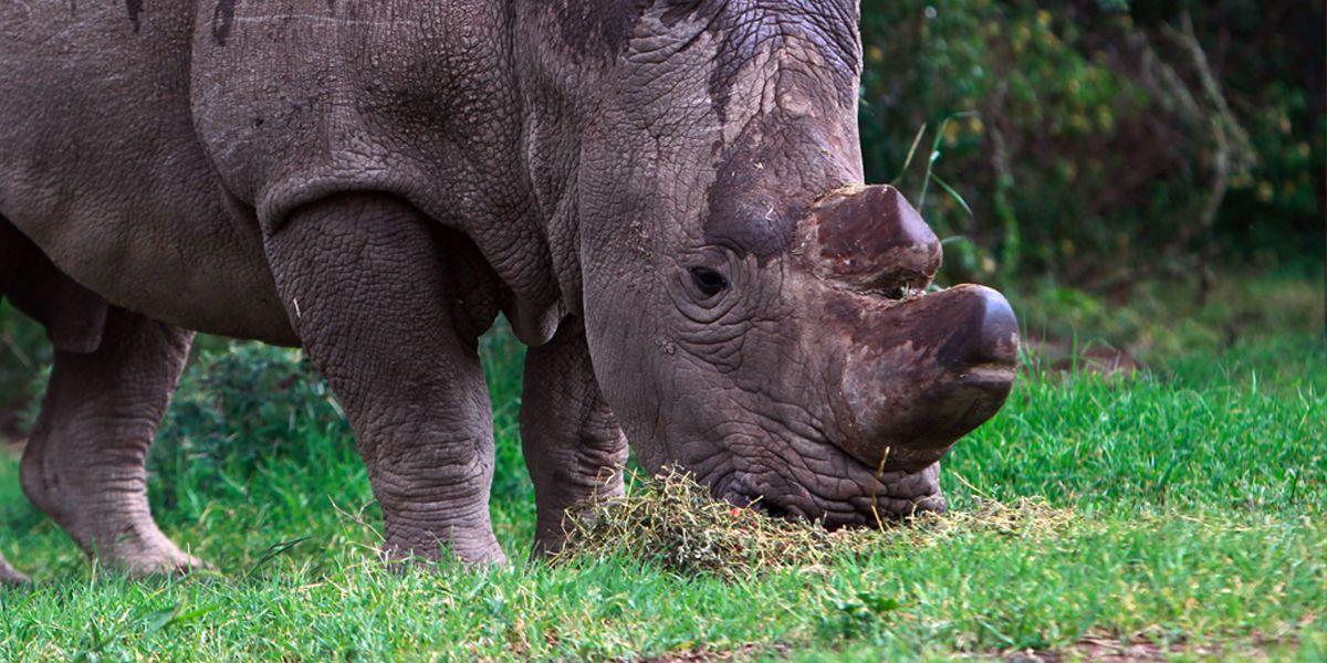 Sudan Nashorn Dpa