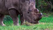 Du kannst die Zukunft dieses Nashorns retten – wenn du es auf Tinder datest