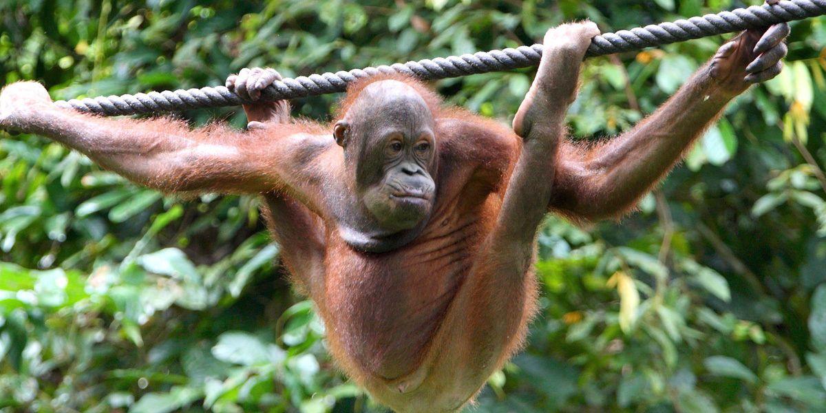 Affen Borneo Dpa