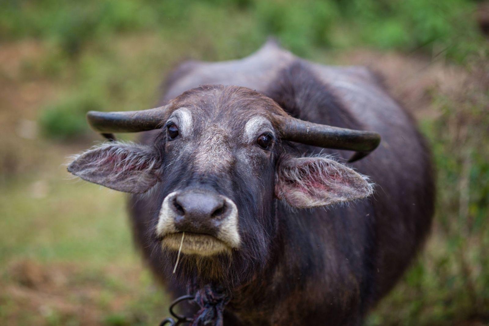 Wasserbuffel