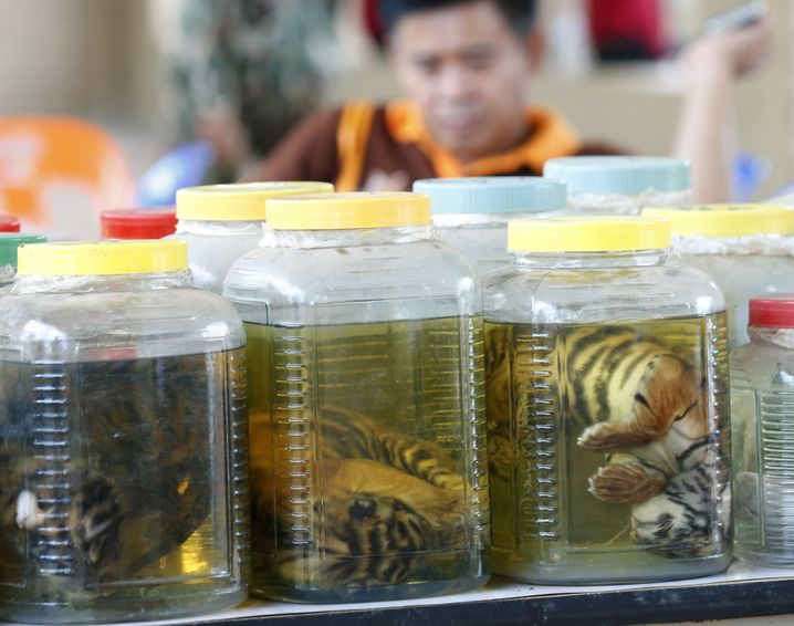 epa05343313 Thai wildlife officials display jars of dead tiger cubs found during a raid at the Tiger Temple in Kanchanaburi Province, Thailand, 03 June 2016. Thai officials of the Department of National Parks, Wildlife and Plant Conservation found 20 dead tiger cubs preserved in jars on 02 June, and about 40 dead bodies of tiger cubs on 01 June, as they were raiding the controversial Tiger Temple in order to remove tigers after the temple had been accused of being involved in illegal wildlife trafficking, according to media reports. EPA/NARONG SANGNAK +++(c) dpa - Bildfunk+++ |