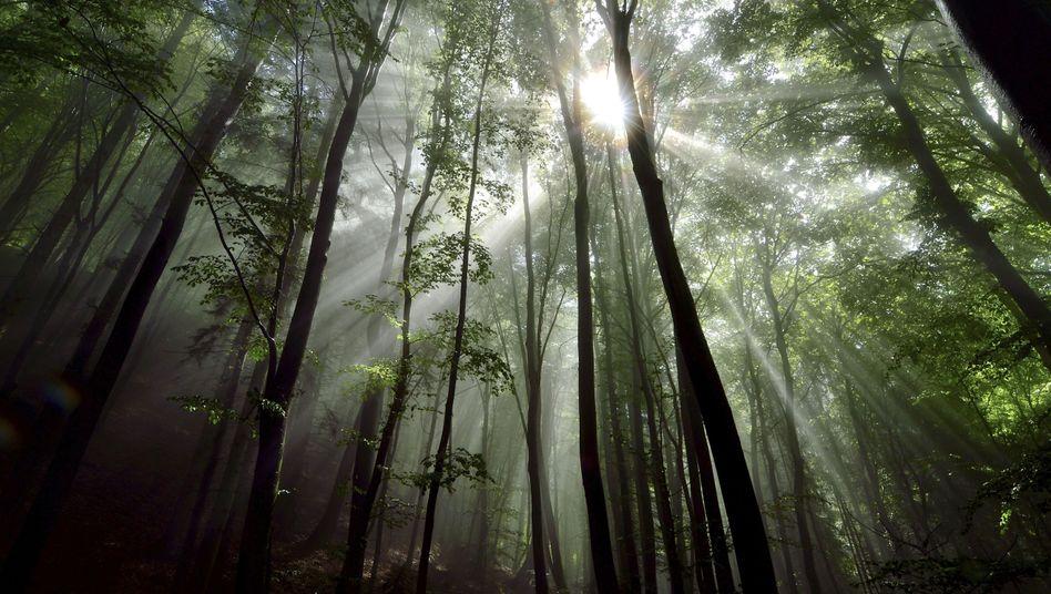 Gefiltertes Licht, majestätische Stille: Macht der Wald gesund?