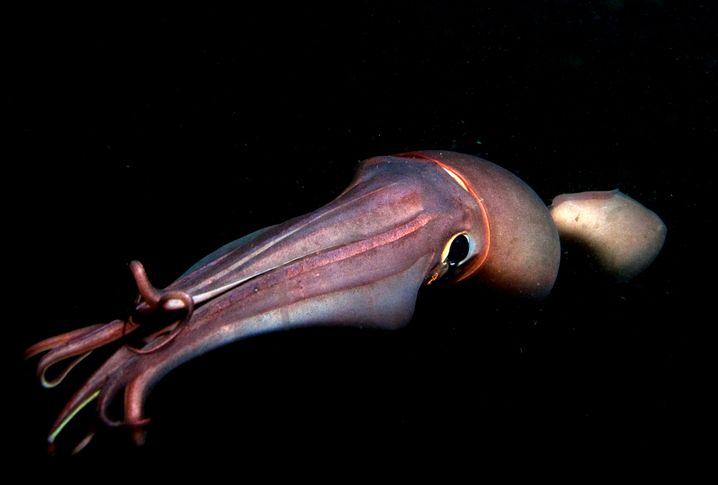 Humboldt-Kalmar: Sie legen Eier mit einem Durchmesser von vier Metern