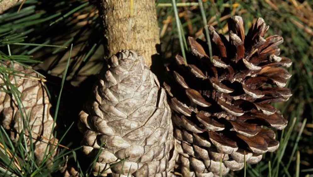 Rote Liste: Düstere Aussichten für Nadelbäume
