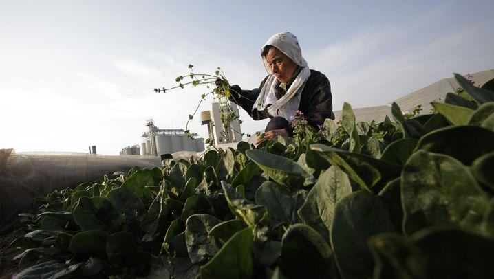 Strahlenangst in Fukushima: Exportstopp für Milch und Spinat