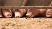 Schweine, die nicht sterben dürfen