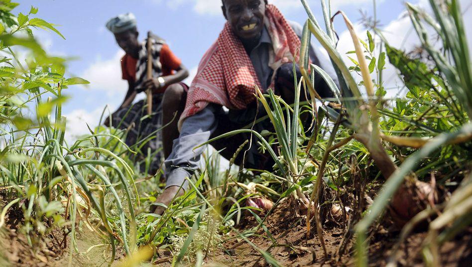 Uno-Landwirtschaftsprogramm (in Somalia): Die positive Entwicklung schreitet schneller voran als je zuvor
