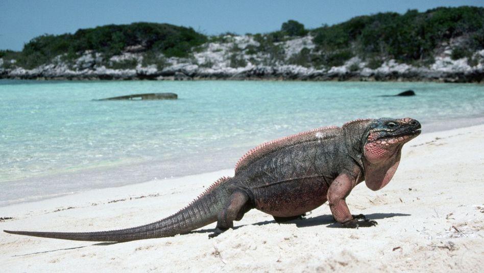 Strandschönheit: Für solche Aufnahmen werden die Leguane mitunter sogar mit Fleisch angelockt