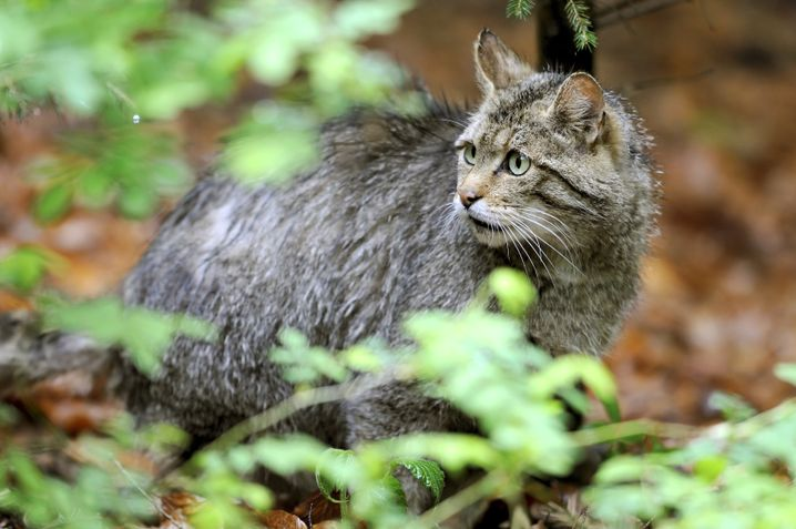 Wildcats are extremely shy -- but in the spring, a lucky hiker may come across wildcat kittens waiting for their mother to return with food.