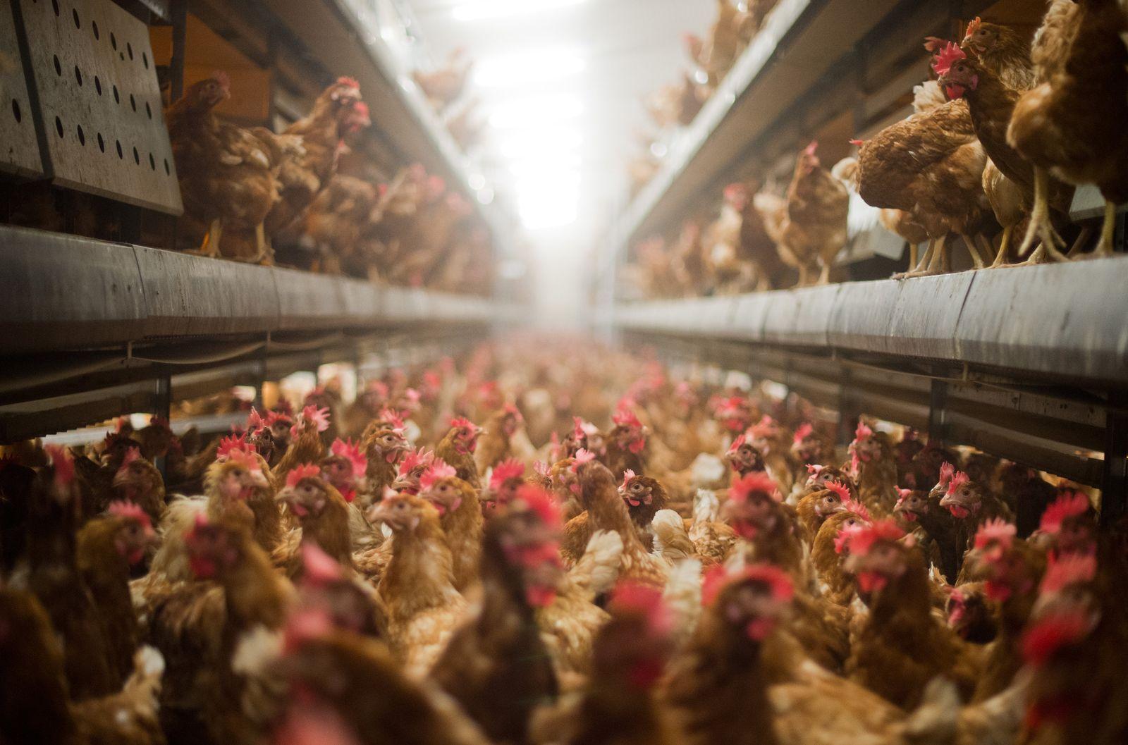 Vogelgrippe Hühner