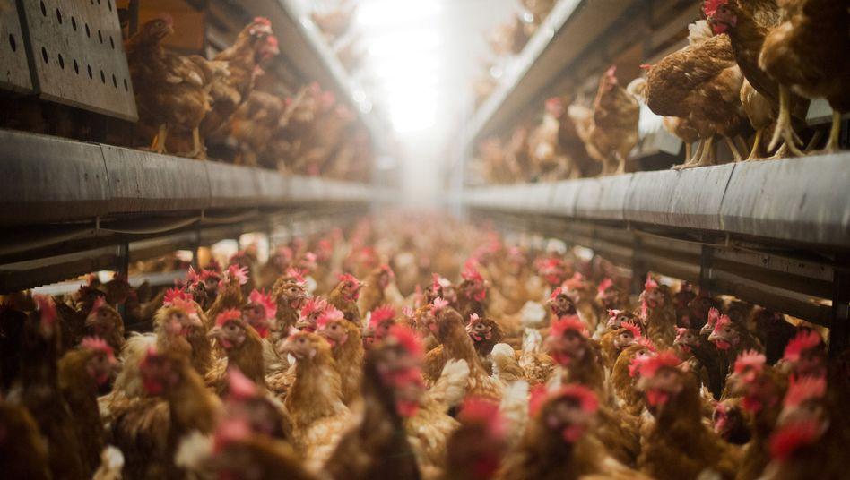 Hühner im Stall (Symbolbild)