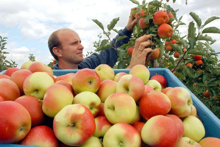 Apfelernte in Rheinland-Pfalz