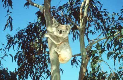 Koala auf einem Eukalyptus: Brände bestimmen das Leben