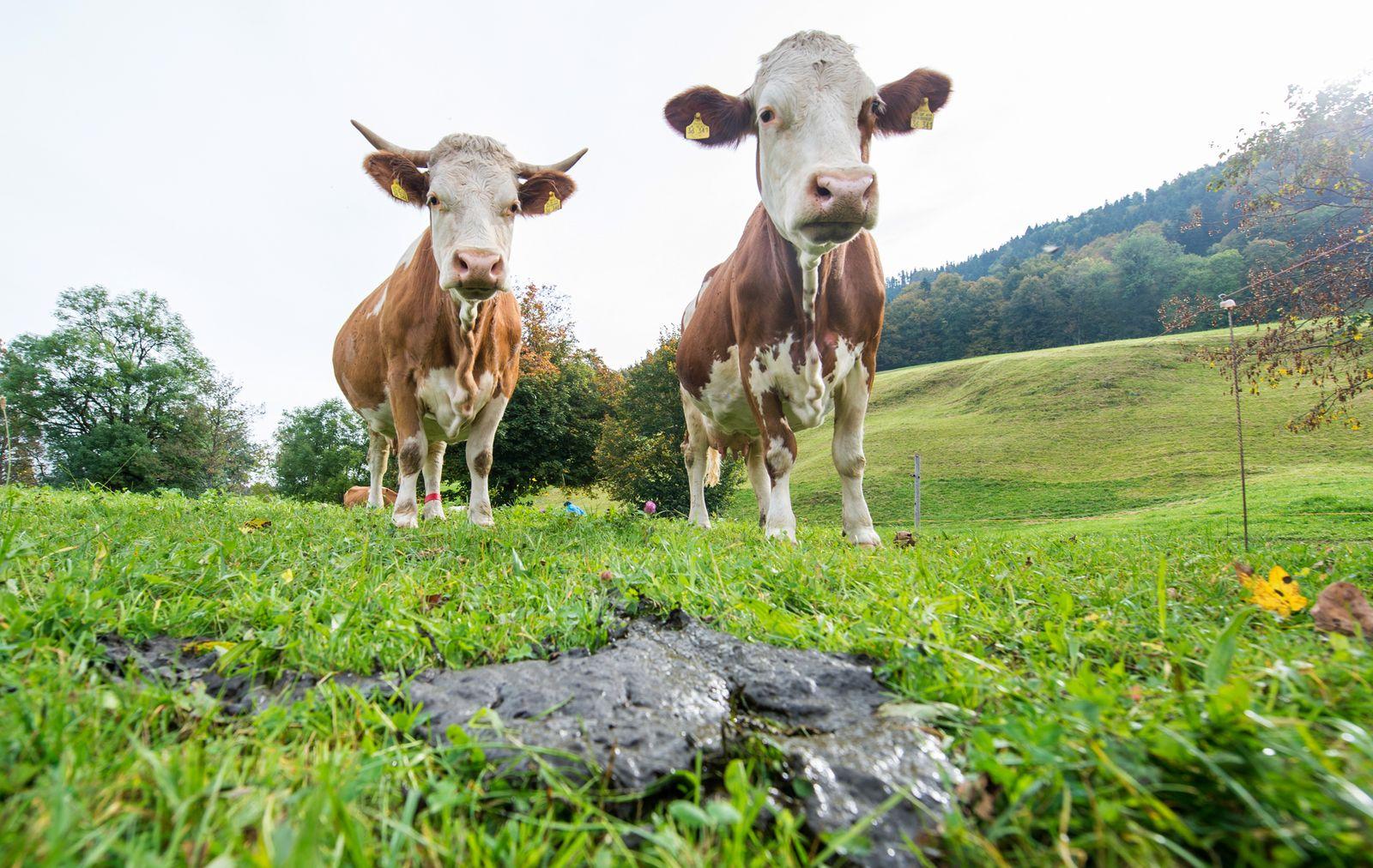 Kühe/ Methan