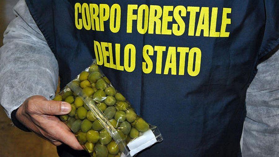 Italienischer Ermittler mit Oliven, die mit einer Kupfer-Sulfat-Lösung gefärbt sind