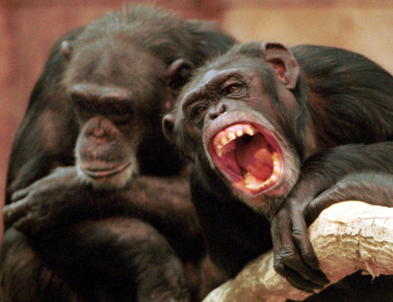 Schimpansen / Zusammenarbeit