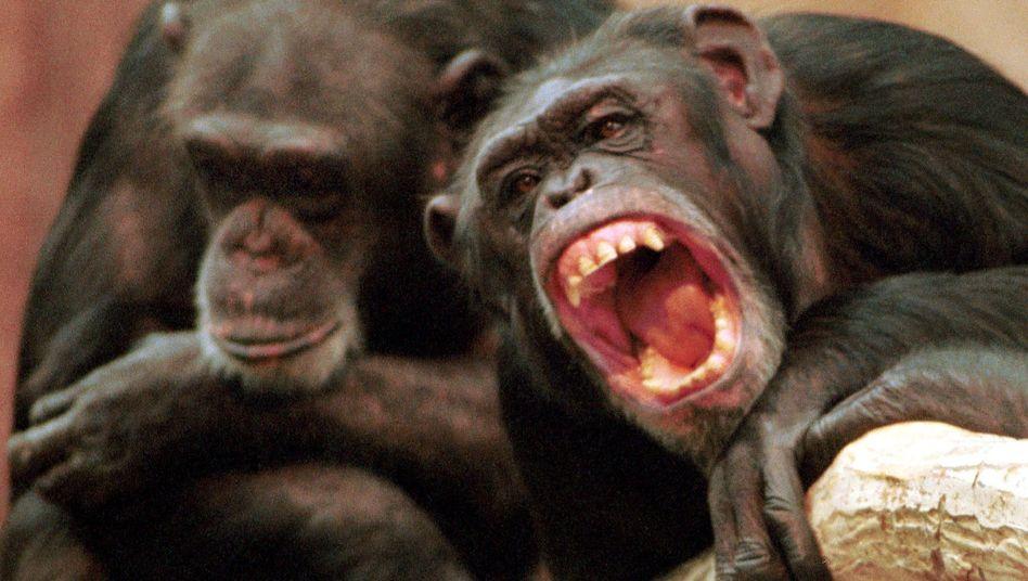 Schimpansen (im Krefelder Zoo): Vertrauen bekommt man auch unter Affen nicht geschenkt