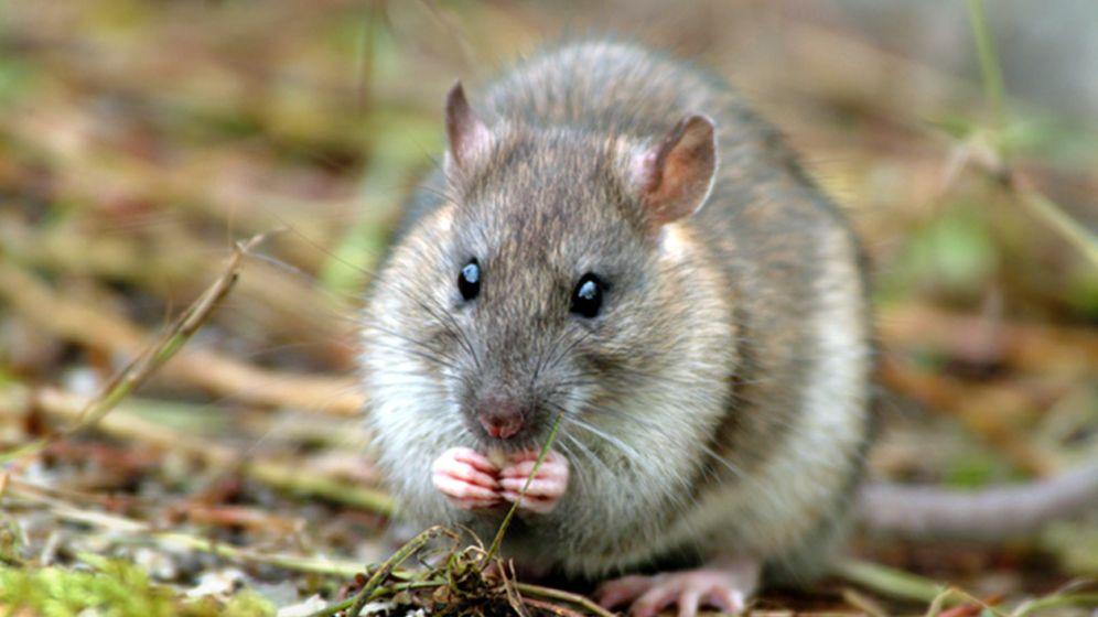 Ratten-Ausrottung auf Südgeorgien: Mit Hubschraubern gegen schädliche Nager