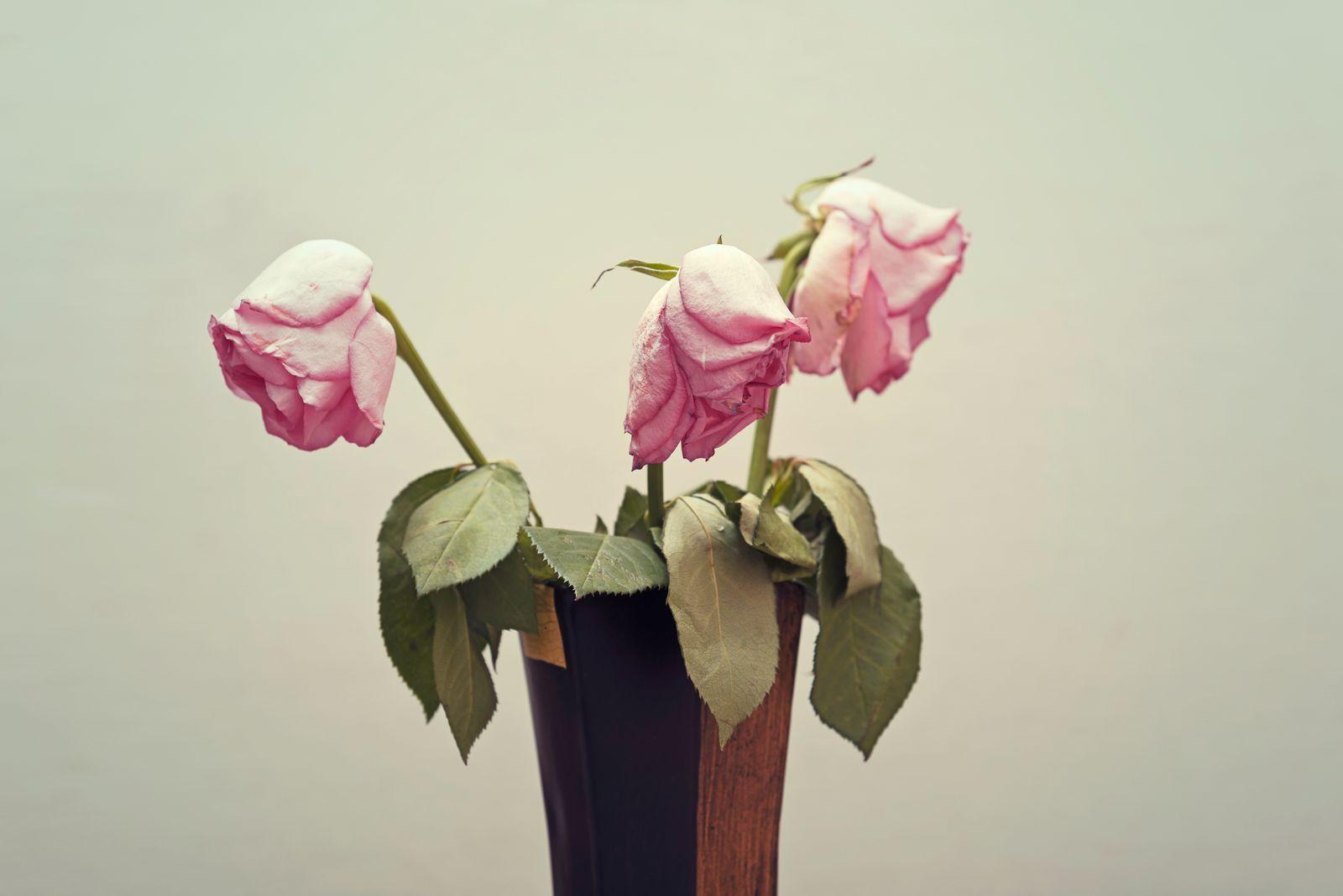 Wilting Pink rose