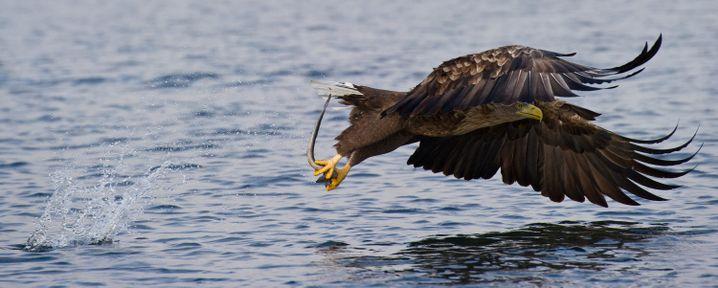 Ein Seeadler holt einen Aal aus einem Fluss (Archiv)
