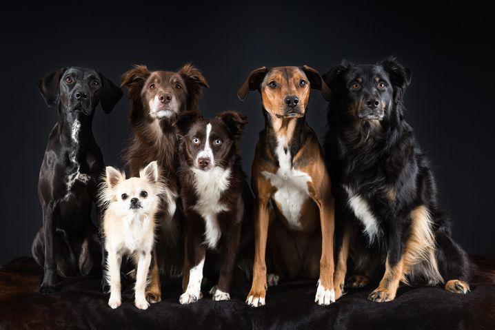 Hundegruppe, fotografiert im Studio