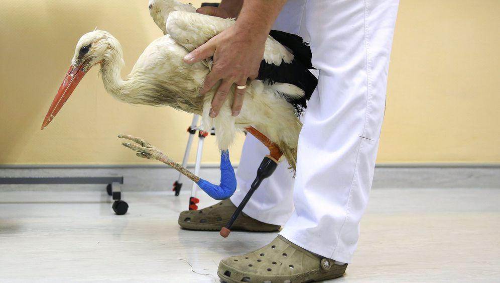 Verletzter Storch: Eine Prothese für Mathilda