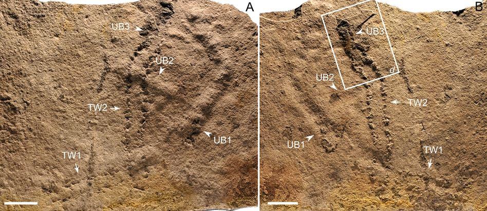 550 Millionen Jahre alte Fuß- und Grabspuren: Wer oder was lief und grub dort?