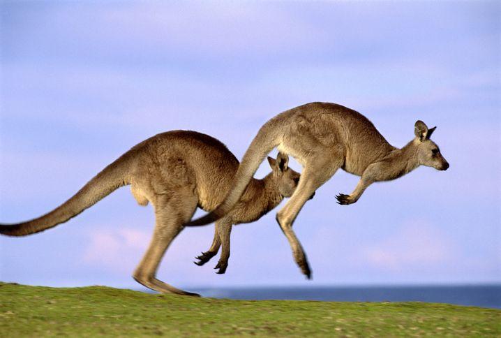 Junge Hüpfer: Auf einer Startbahn in Australien waren Kängurus im Weg