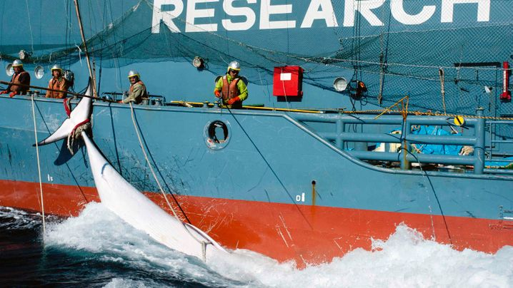 Urteil im Walfang-Prozess: Walfang unter dem Deckmantel der Wissenschaft