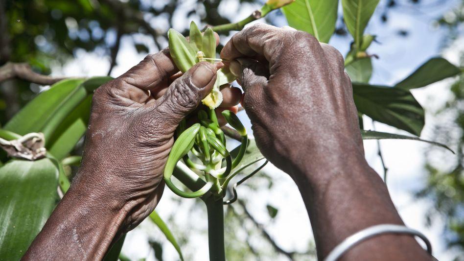 Handbestäubung der Vanille auf Madagaskar: 600 Blüten ergeben gerade mal ein Kilogramm der schwarzen Stangen