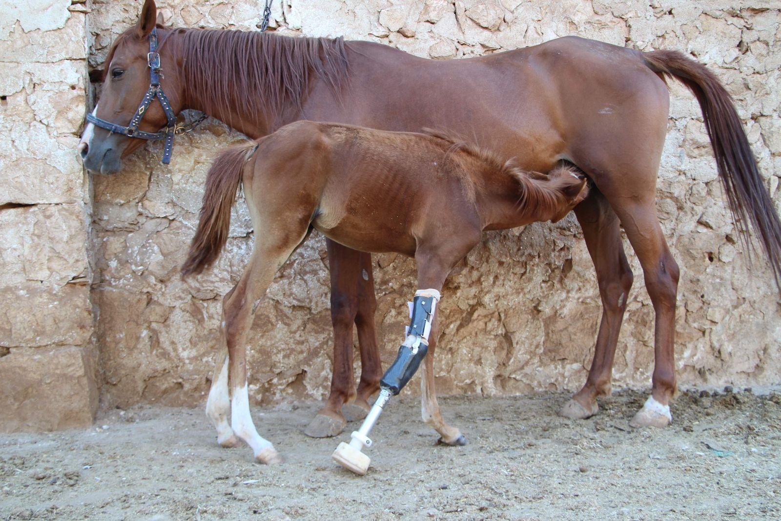 Syrien/ Pferd/ WBDW