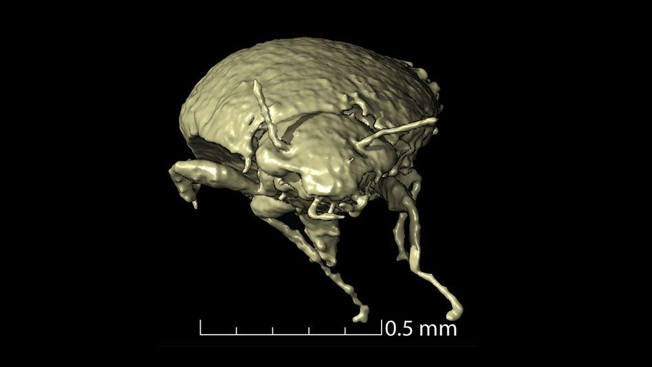 Mikrotomografie von Dino-Dreck: Käfer als 3D-Modell
