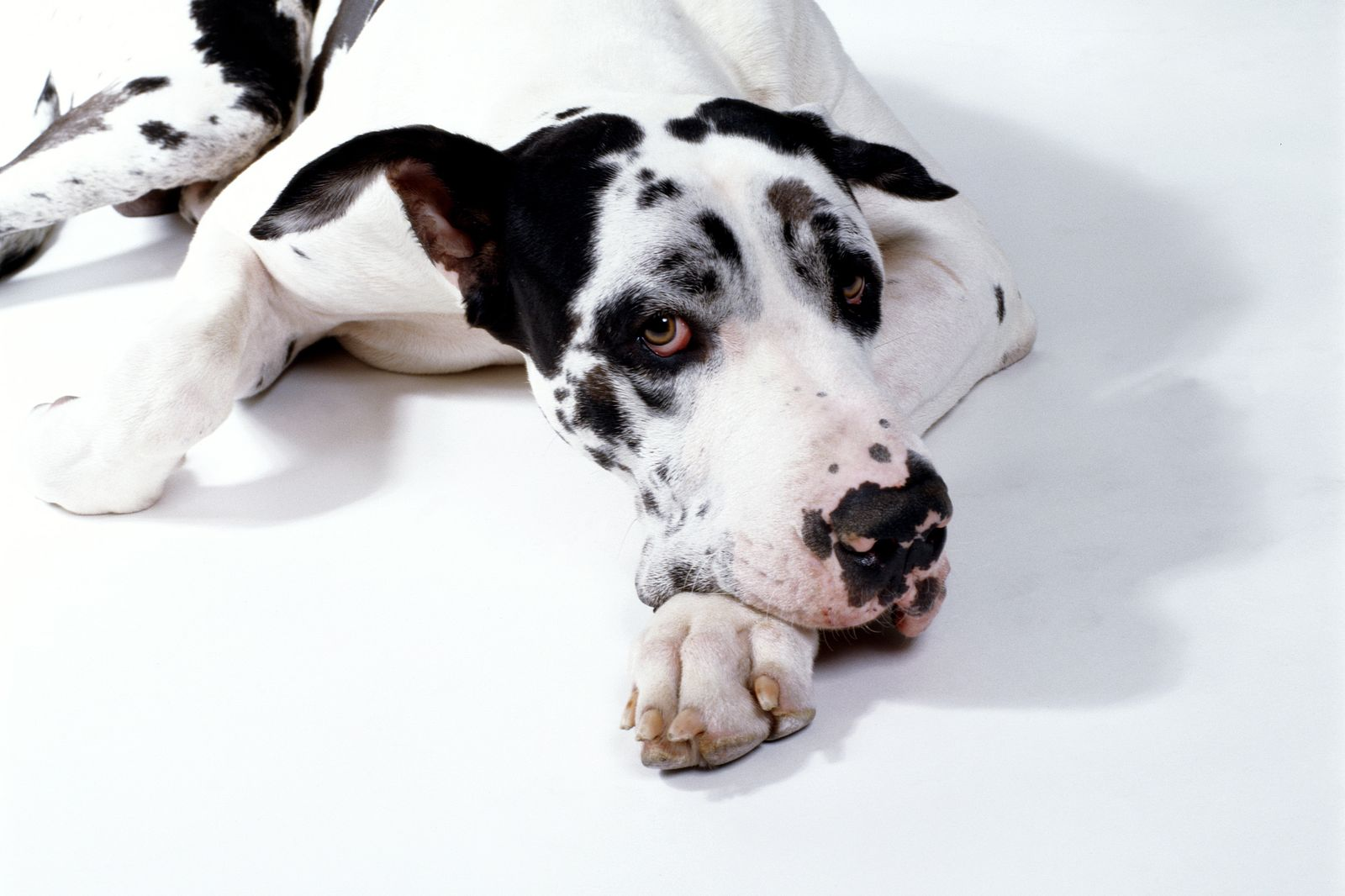 Great Dane resting on floor, studio setting