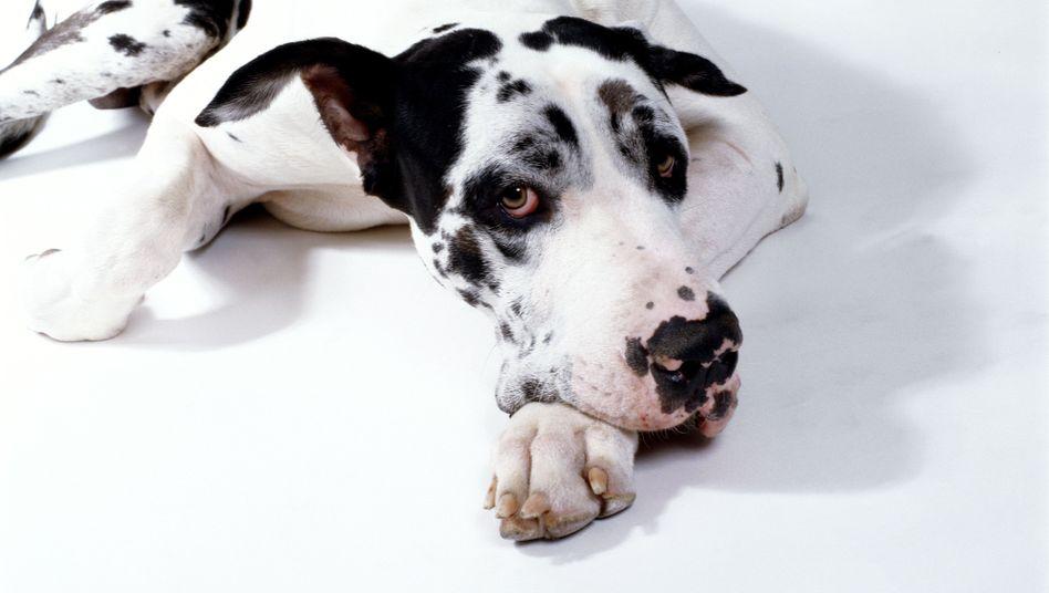 Deprimierte Dogge (Symbolbild): Schwer zu verheimlichen
