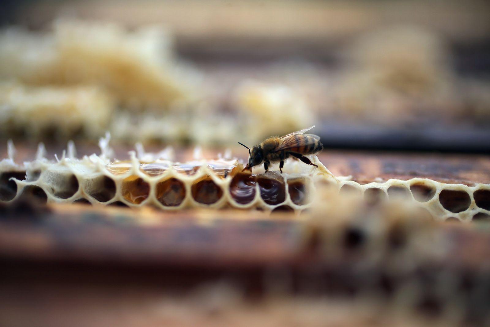 Honigbiene Florida