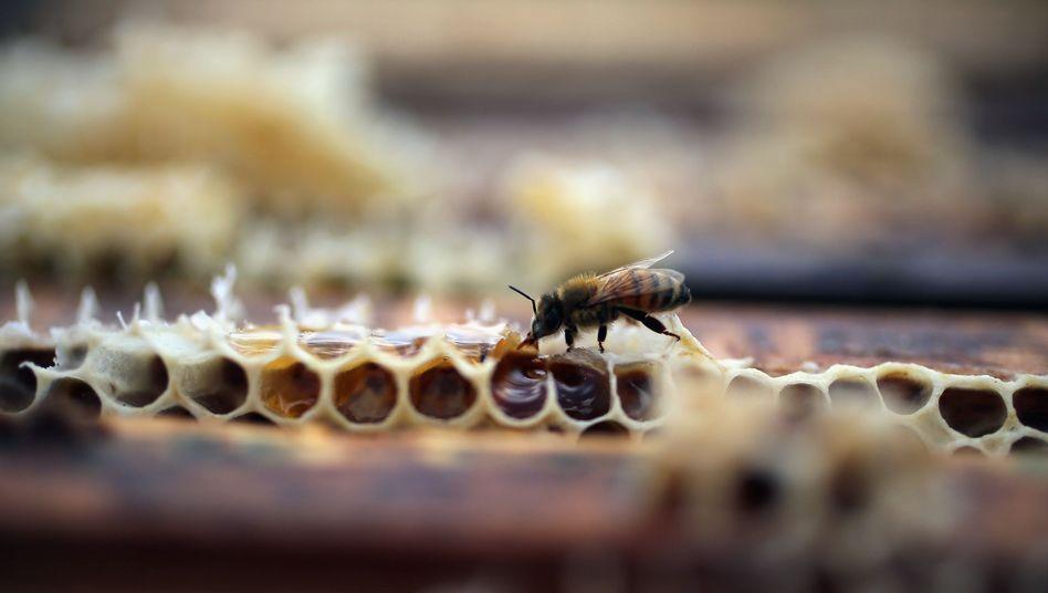 Honigbiene: Auch Fungizide können den Insekten schaden