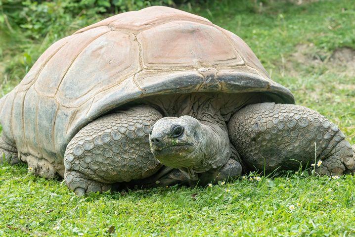 Riesenschildkröte Schurli