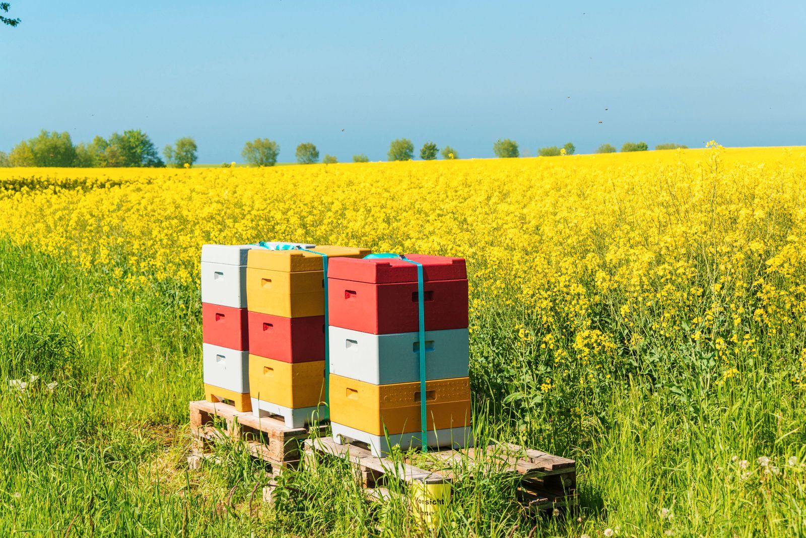 Kiel, Bienenkörbe an einem in voller Blüte stehenden Rapsfeld *** Kiel, beehives at a rape field in full bloom