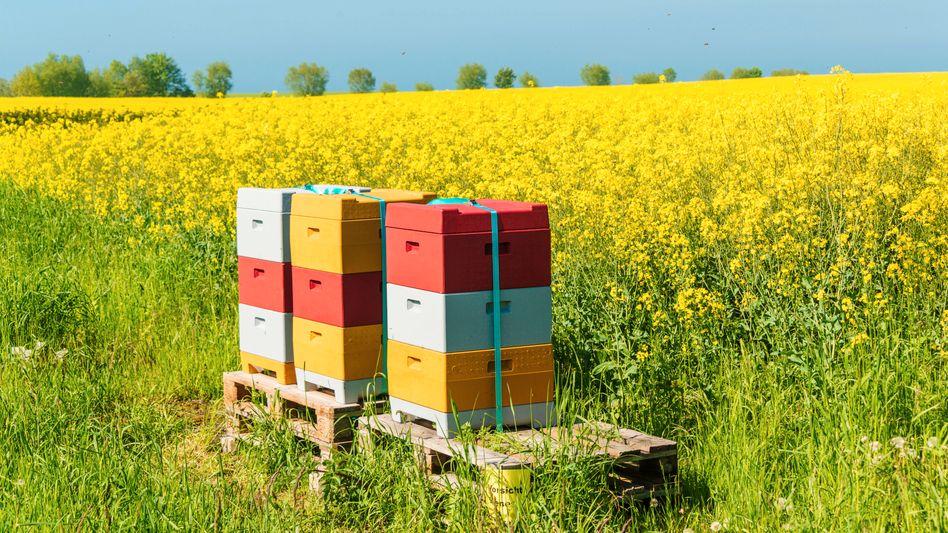 Bienenkörbe stehen an einem Rapsfeld