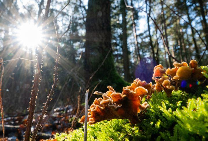 Pilze im Wald: Die App sagt, welcher