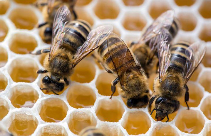 Frage: Welche Aufgaben haben die weiblichen Bienen? Antwort: Sie putzen viel, kümmern sich um die Kinder und in ihrer Freizeit sammeln sie Pollen und Nektar.