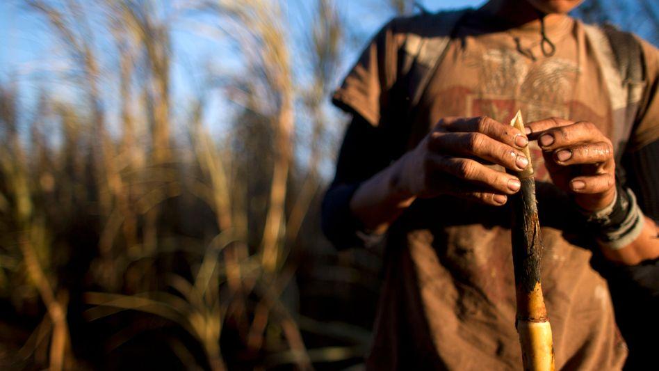 """Plantage in Mittelamerika: """"Guaro"""" ist ein aus Zuckerrohrsaft hergestellter Likör"""