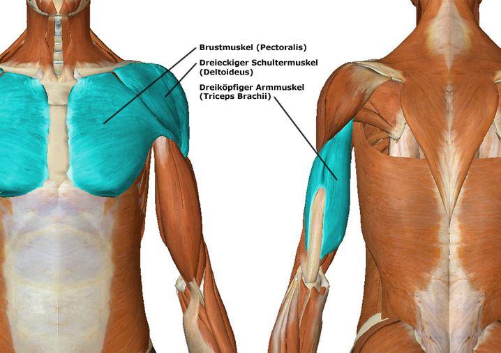 Diese Muskeln werden beim Liegestütz trainiert (zur Großansicht bitte Bild klicken)