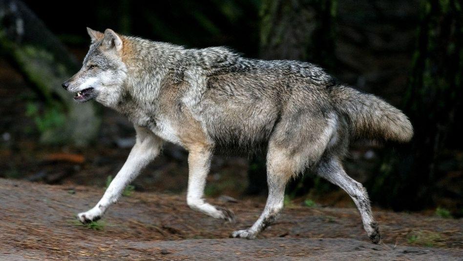 A wolf wandering through a wildlife park in Brandenburg.