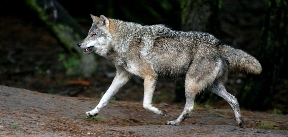 Wolf (Archivbild): Hund in Schweden am Nacken gepackt