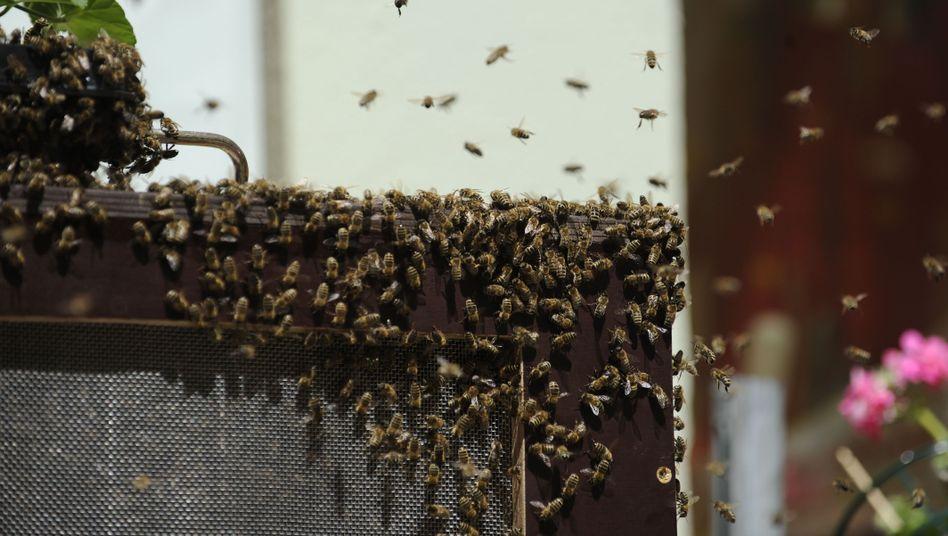 Bienenschwarm in München (Mai 2011): Schwierige Suche nach neuem Wohnort