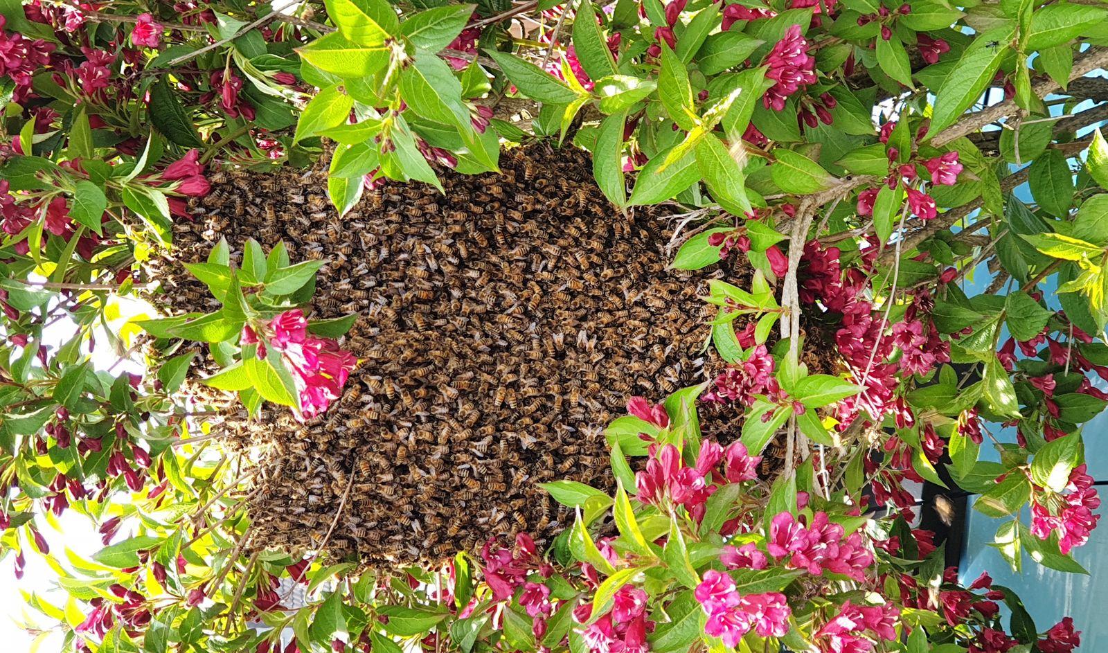Bienenschwarm löste Polizeieinsatz aus